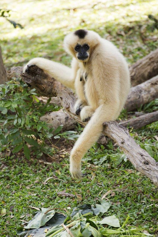 Gibbon que senta-se na madeira fotografia de stock