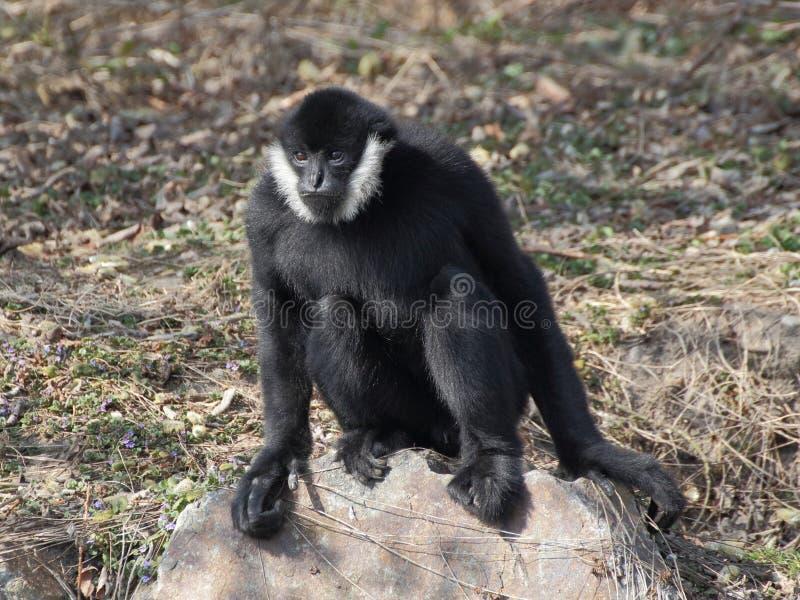 Gibbon que senta-se na rocha fotos de stock royalty free