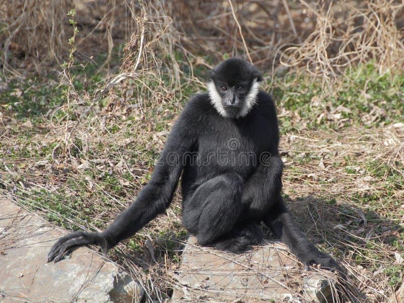 Gibbon que senta-se na rocha fotografia de stock