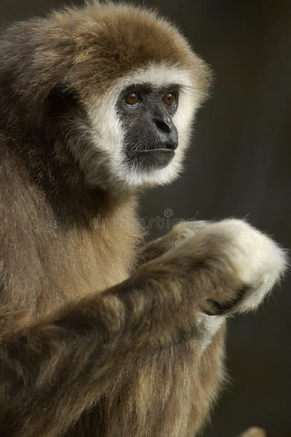 Gibbon remis blanc photos libres de droits