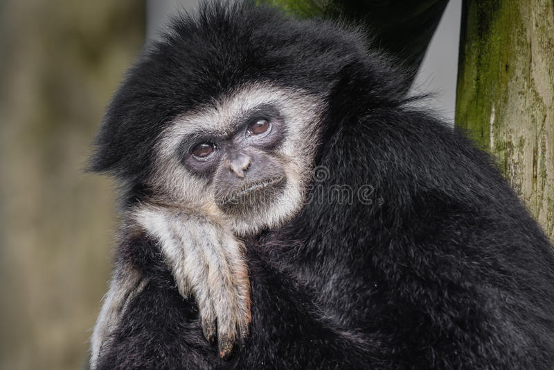 Gibbon remis blanc images libres de droits
