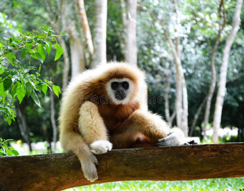 Gibbon on the rock. A gibbon sitting on the rock royalty free stock images