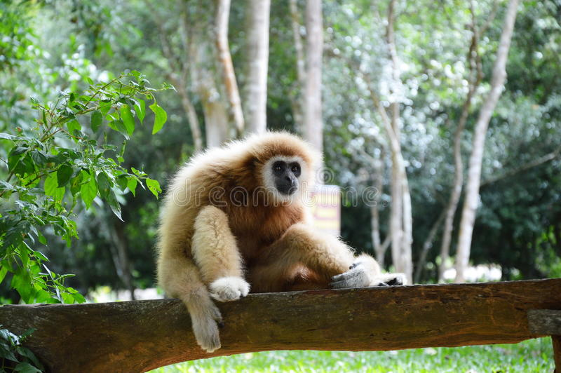 Gibbon on the rock. A gibbon sitting on the rock royalty free stock image