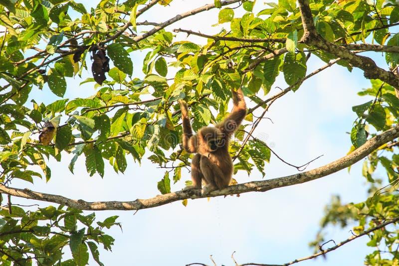 Gibbon s'asseyant sur une branche d'arbre dans la forêt photos stock