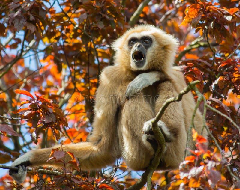 Gibbon sammanträde i träd arkivbilder