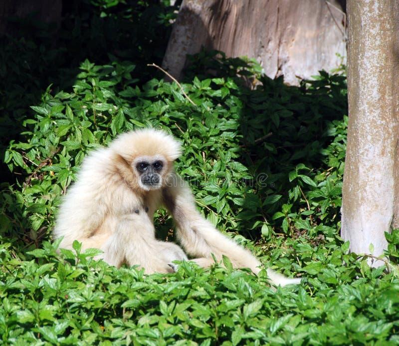 Gibbon selvagem imagem de stock