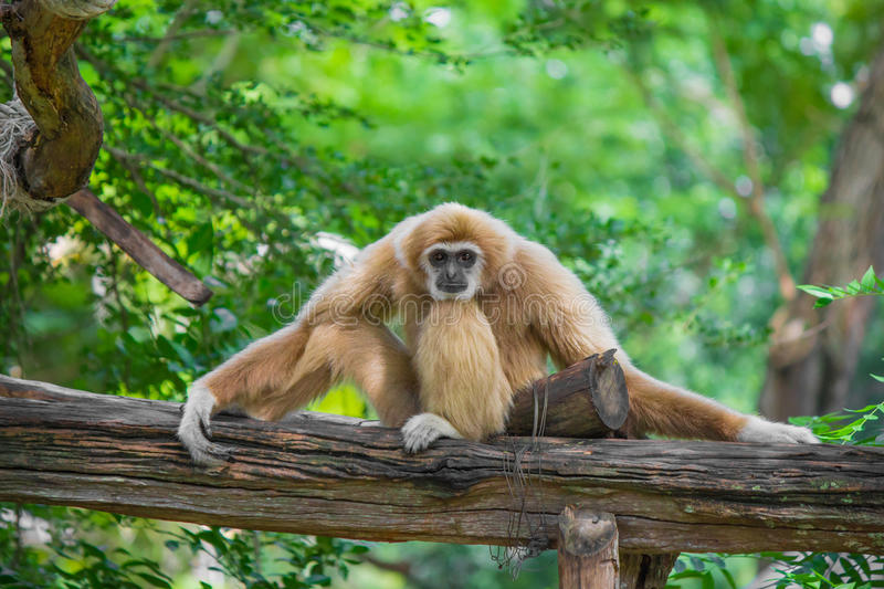 Gibbon sits on timber. Gibbon sits on timber and green trees stock photography