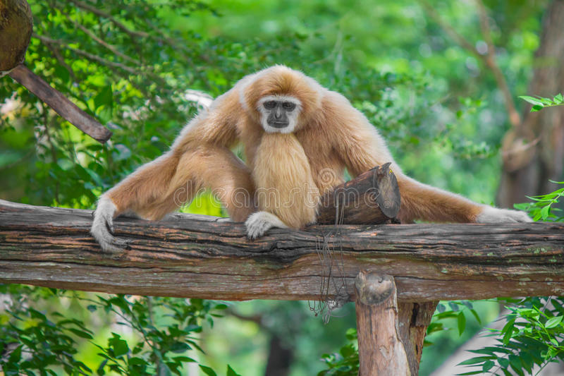 Gibbon sits on timber. Gibbon sits on timber and green trees royalty free stock photos