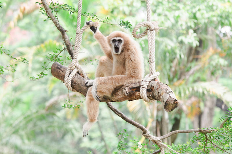 Gibbon sitting on a swing. Close-up Gibbon sitting on a swing royalty free stock photography