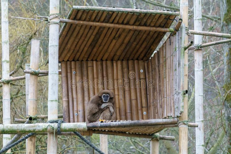 Gibbon sitting on a wooden platform royalty free stock photography