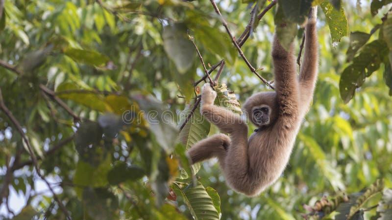 Gibbon som hänger ner från träd royaltyfria foton