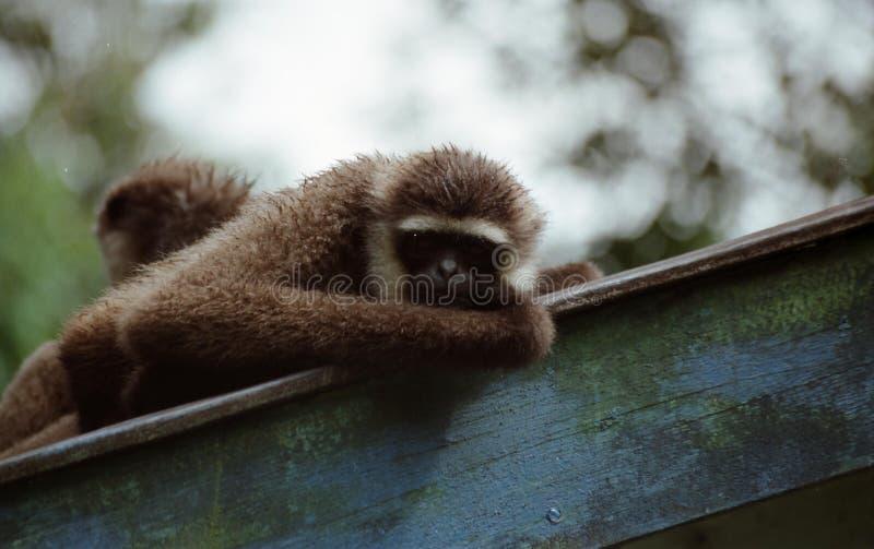 Gibbon w Borneo fotografia royalty free