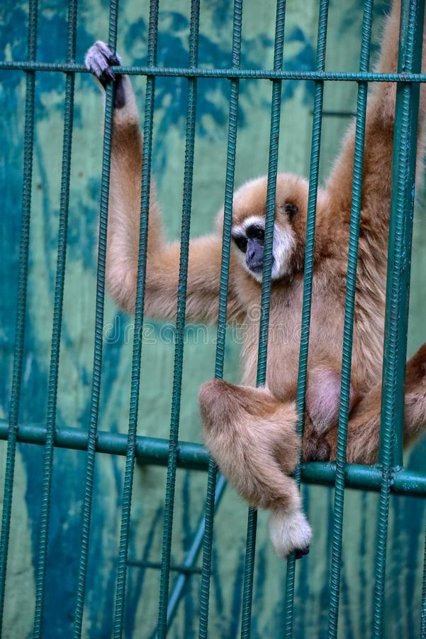 Gibbon w klatce obraz royalty free