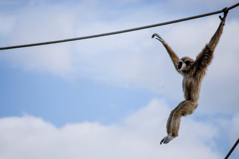 Gibbon w Lisbon zoo zdjęcia royalty free