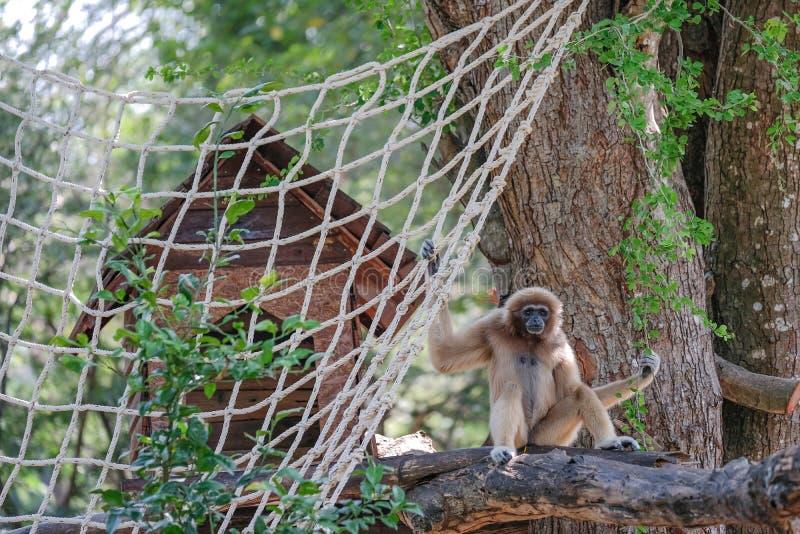 Gibbon W Otwartym zoo zdjęcie stock