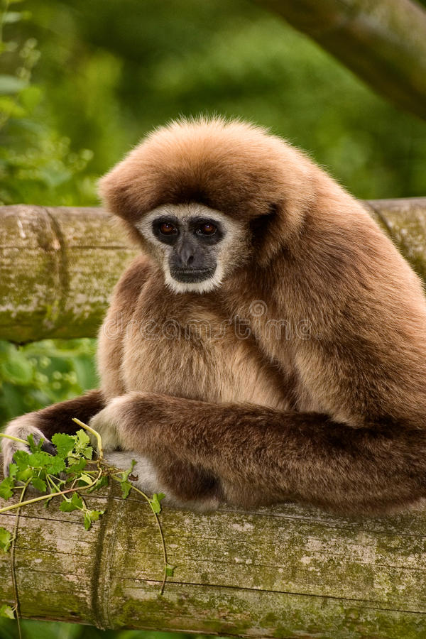 Gibbon. White-Handed Gibbon monkey with brown fur royalty free stock photo