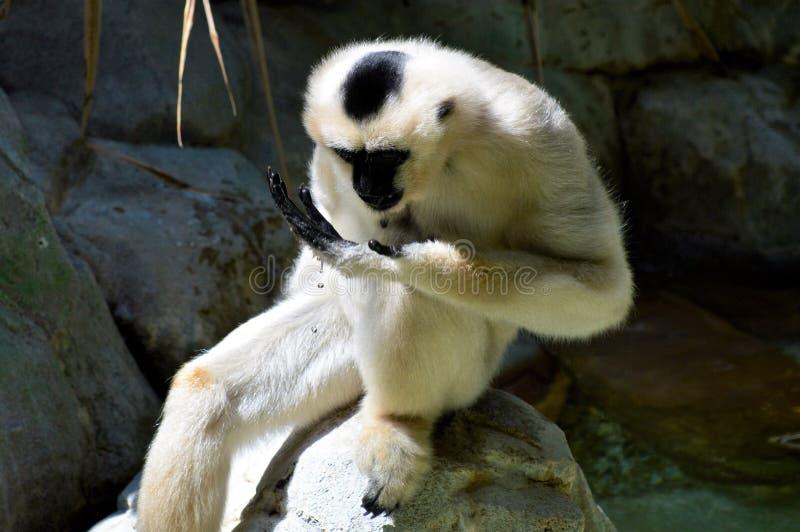 Gibbon. A white Gibbon on a rock stock image