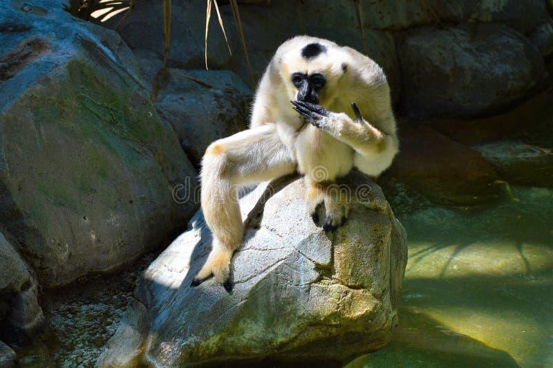 Gibbon. A white Gibbon on a rock stock photos