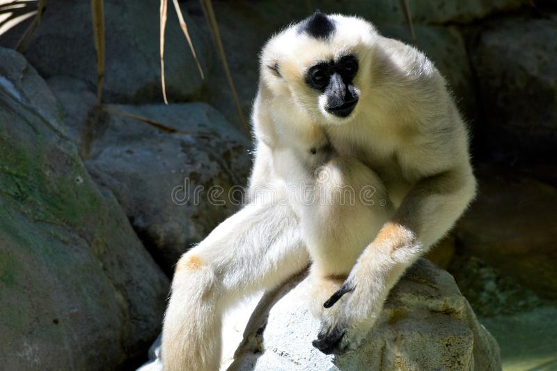 Gibbon. A white Gibbon on a rock royalty free stock photos