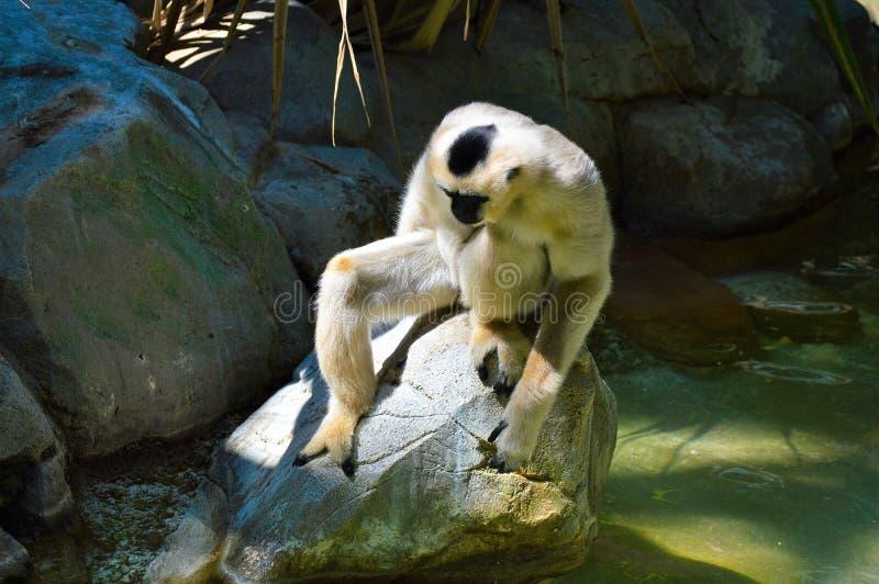 Gibbon. A white Gibbon on a rock stock photo