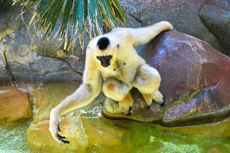 Gibbon. A white Gibbon on a rock royalty free stock image