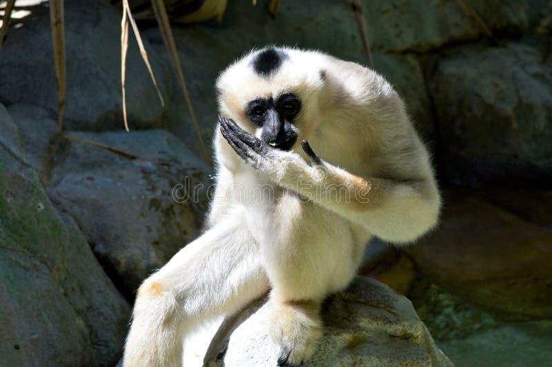 Gibbon. A white Gibbon on a rock stock photography