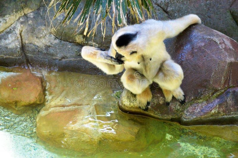 Gibbon. A white Gibbon on a rock royalty free stock images