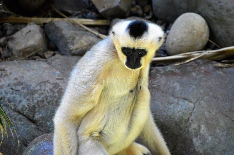 Gibbon. A white Gibbon on a rock stock images