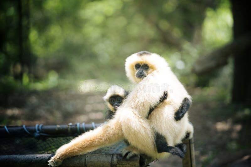 Gibbon z dzieckiem obrazy stock