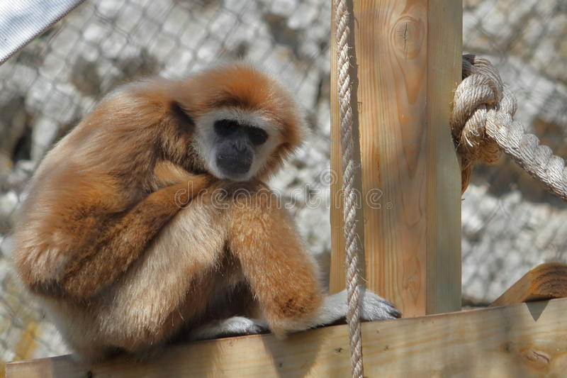 Gibbon In The Zoo. A golden colored gibbon sitting in the shade near a climbing post in his zoo enclosure stock photography
