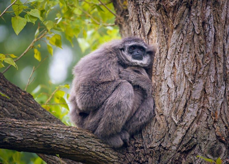 Gibbone argenteo anche conosciuto come il moloch del Hylobates che si siede su un albero fotografie stock