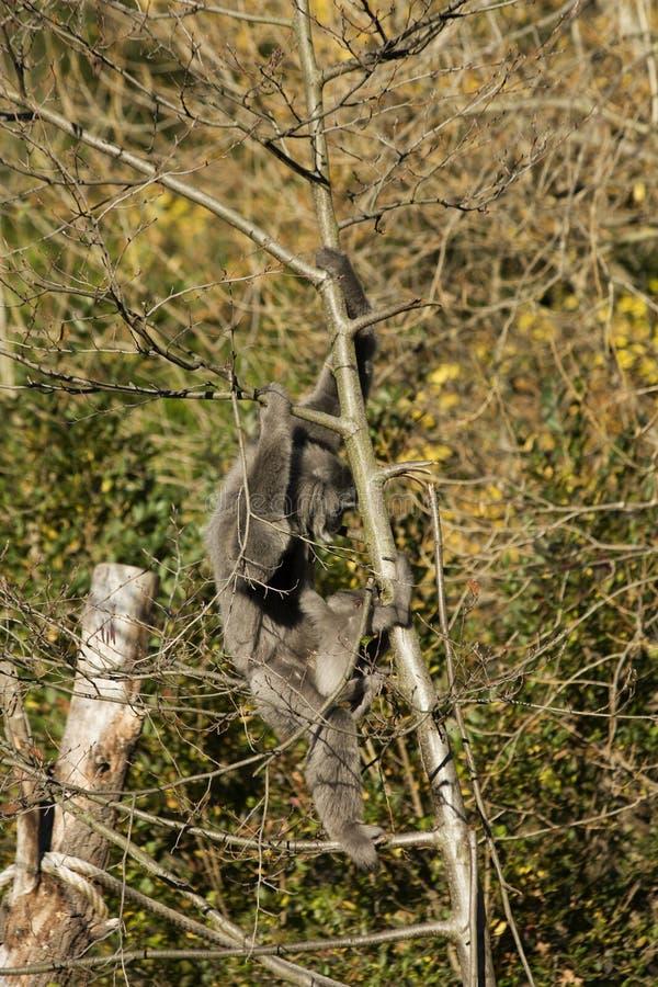 Gibbone argenteo femminile fotografia stock