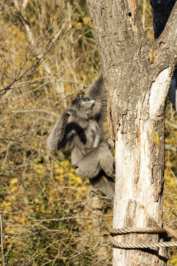 Gibbone argenteo femminile immagini stock libere da diritti