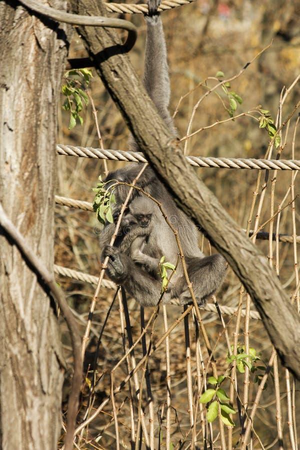 Gibbone argenteo femminile immagini stock