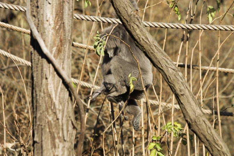 Gibbone argenteo femminile fotografie stock libere da diritti
