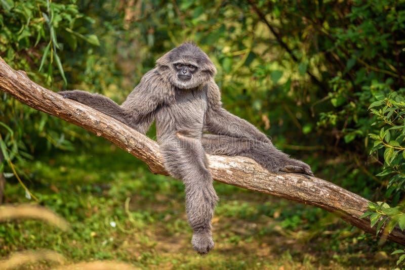 Gibbone argenteo (moloch del Hylobates) fotografia stock