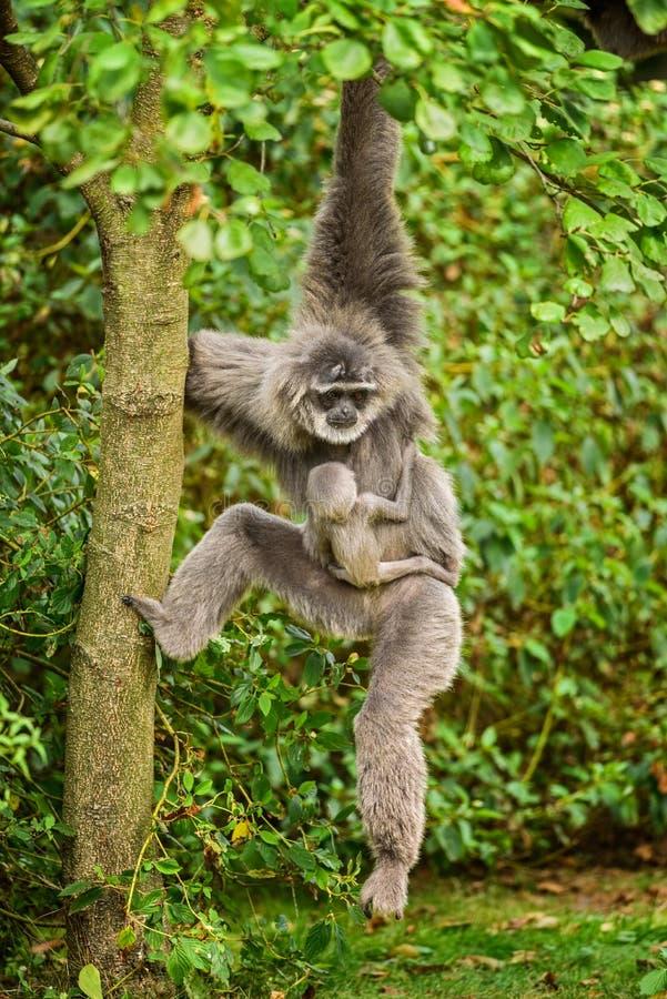 Gibbone argenteo (moloch del Hylobates) con un neonato fotografia stock libera da diritti