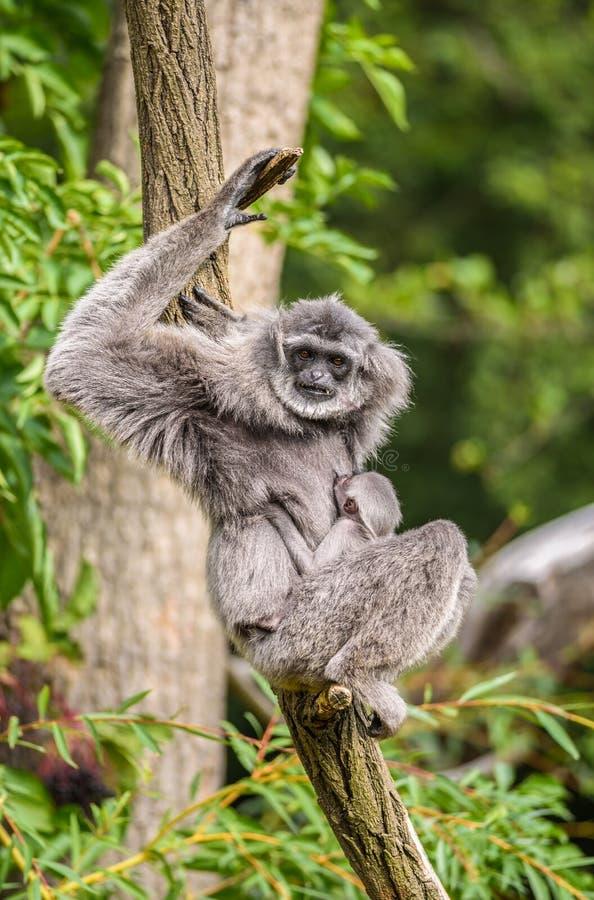 Gibbone argenteo (moloch del Hylobates) con un neonato fotografia stock