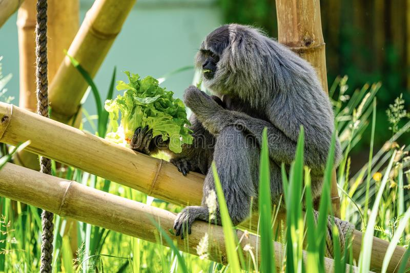 Gibbone argenteo, moloch del Hylobates nello zoo fotografia stock