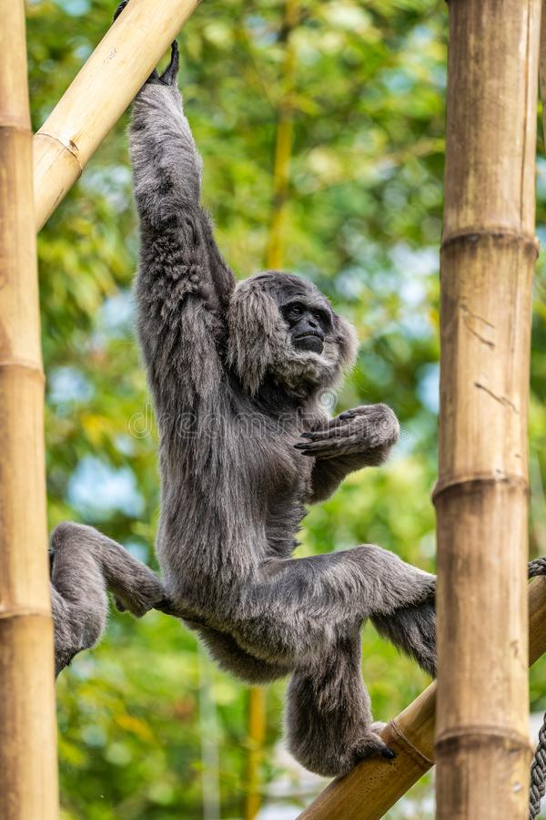 Gibbone argenteo, moloch del Hylobates nello zoo immagine stock libera da diritti