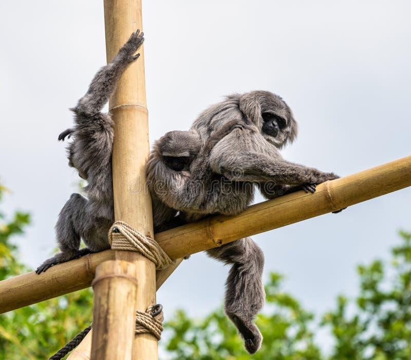Gibbone argenteo, moloch del Hylobates nello zoo immagini stock libere da diritti