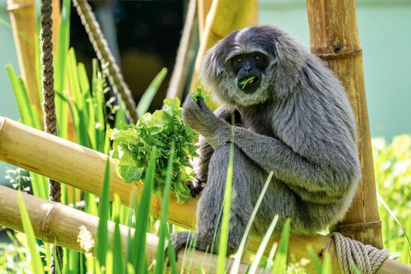 Gibbone argenteo, moloch del Hylobates nello zoo fotografie stock libere da diritti