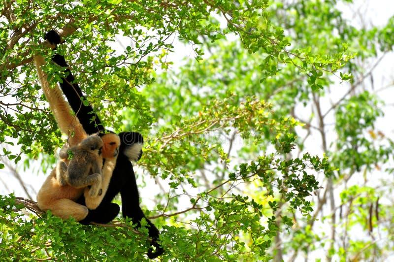 Gibbone bianco--cheeked, fine, famiglia della scimmia fotografie stock