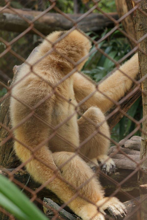 Gibbone bianco--cheeked nordico in una gabbia fotografie stock libere da diritti