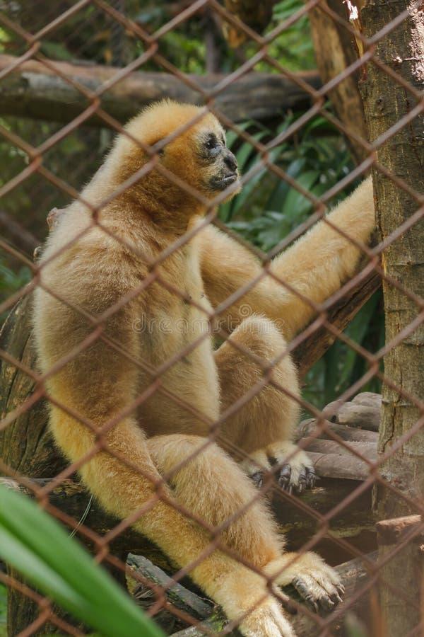 Gibbone bianco--cheeked nordico in una gabbia fotografia stock