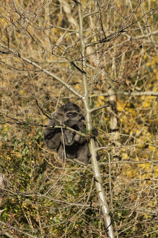 Gibbone del moloch del Hylobates fotografia stock libera da diritti