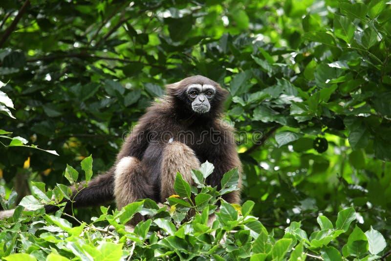 Gibbone di Bornean fotografia stock
