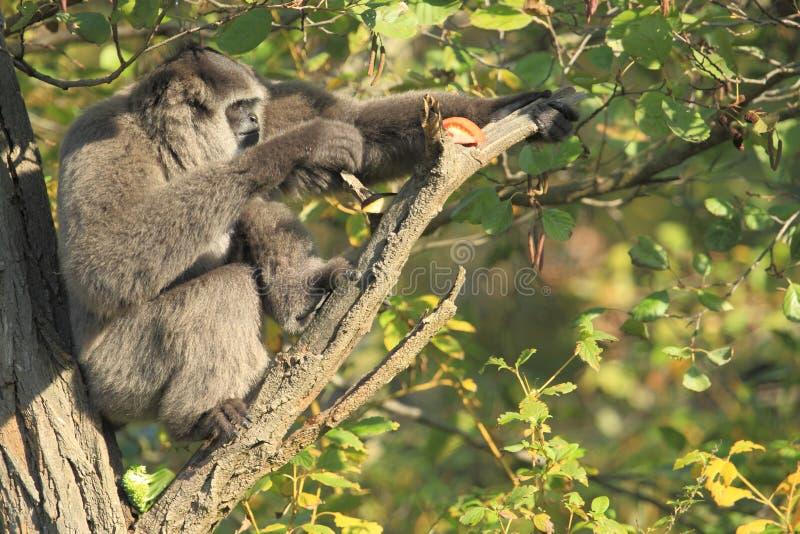 Gibbone di Moloch che si siede sull'albero fotografia stock libera da diritti