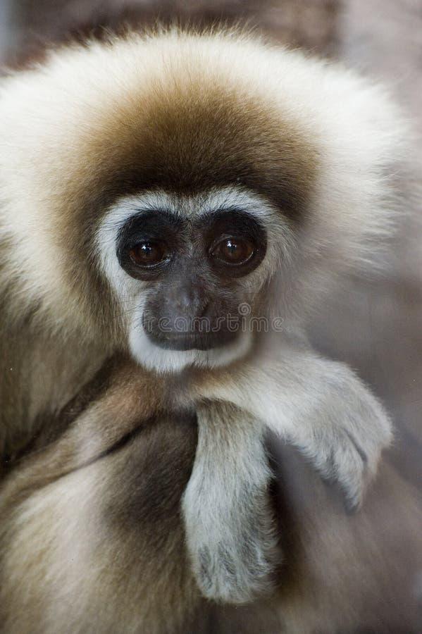 gibbonen räckte white arkivfoto