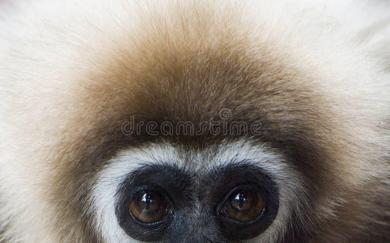 gibbonen räckte white royaltyfria foton